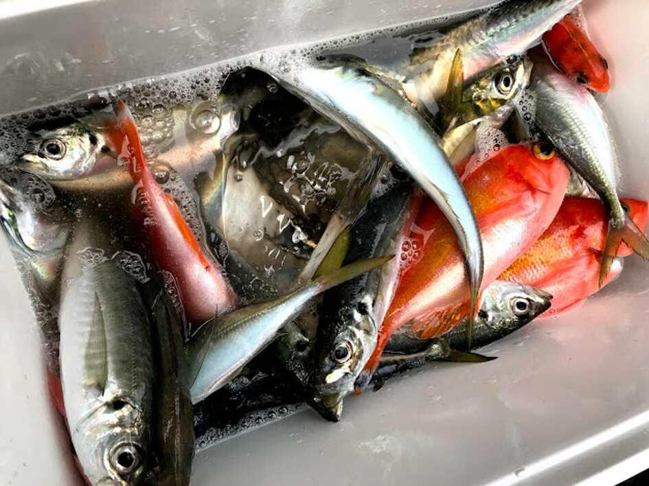 筆者が先日釣った、平塚の美味しい魚たち